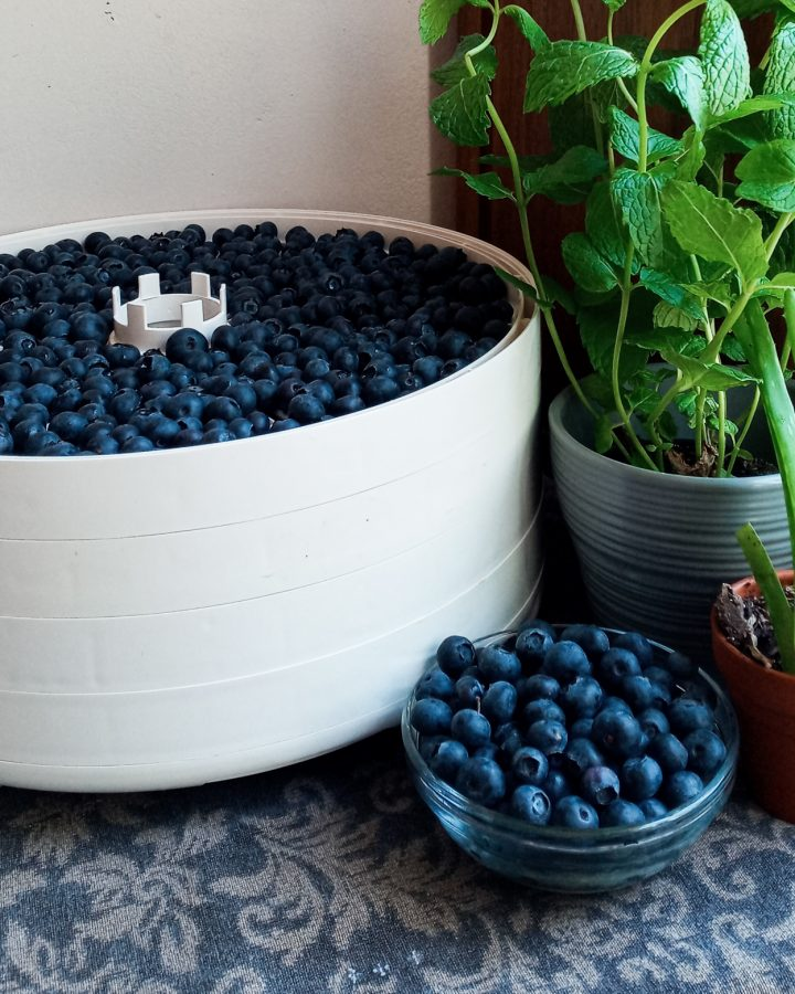 Food dehydrator with blueberries in it sitting by a couple of plants and a small bowl of fresh blueberries